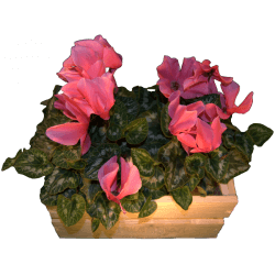 Caisse pour fleurs (offre cadeau)